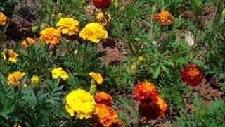 How to Grow Marigolds from Seed
