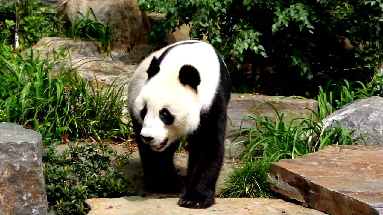 Panda: Chinese Ambassador to the World - YouTube