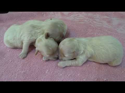 Maltipoo puppies at 5 days old