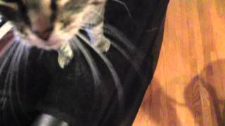 Cute profile of cat Loves Aggravation, hisses and snorts when mad-