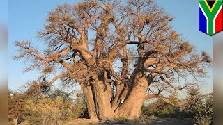 Some of Earth's oldest trees are giving up the ghost - TomoNews