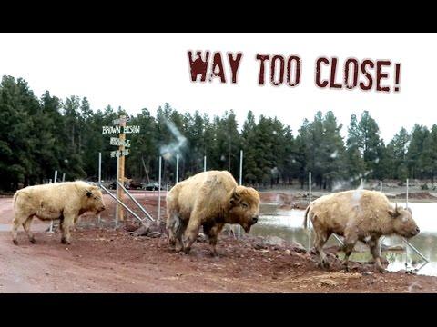 Wild Bison Attack! Arizona Vacation Pt. 1