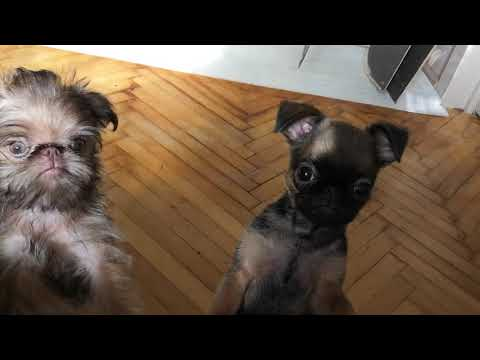 Puppies of brussels griffon
