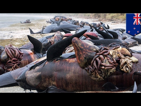 Whale explosion: Hundreds of New Zealand whale carcasses punctured to prevent popping - TomoNews