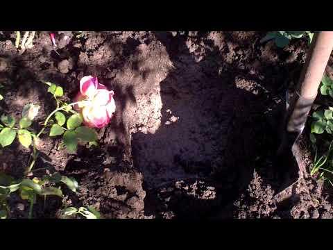 Пересадка роз осенью