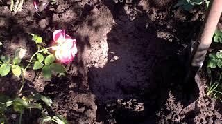 видео Пересадка роз осенью на другое место