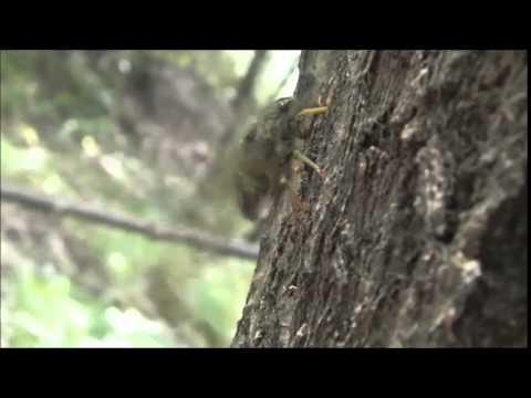 "PLoS ONE : How Do ""Mute"" Cicadas Produce Their Calling Songs?"