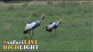 Crowned Cranes have a slithering encounter