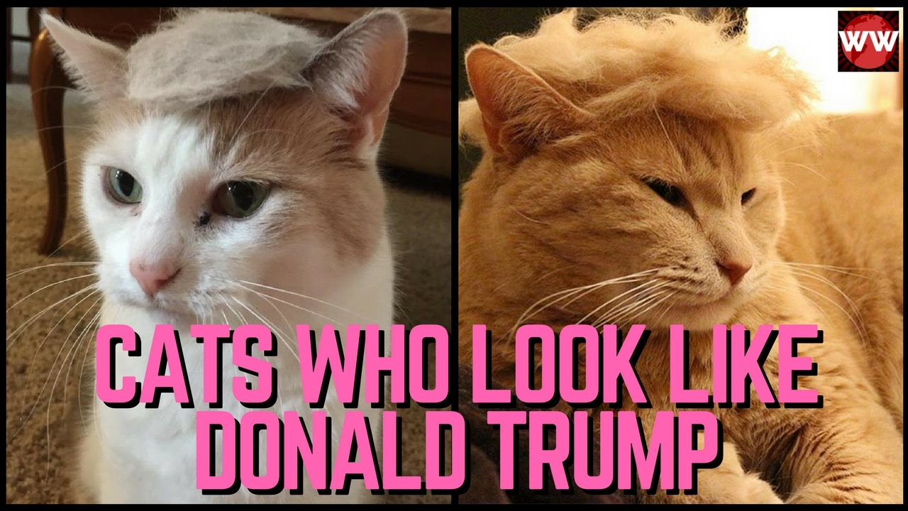 20 Cats Who Look Like Donald Trump Youtube