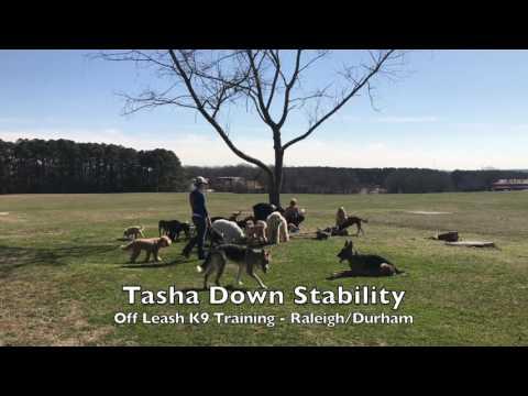 "12mo German Shepherd ""Tasha"" Before and After - Dog Training Raleigh Durham"