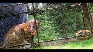 How to make Mongoose Trap | How to catch big Mongoose | Catching Mongoose in Asia