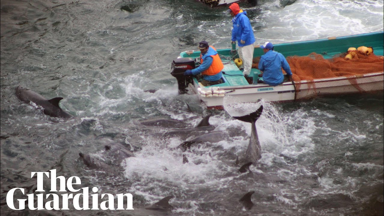 'Unprecedented' legal challenge to dolphin hunting in Japan
