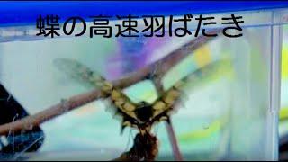 虫かごで羽化した蝶々。 羽を高速で羽ばたきを数分間続けてました。 疲...