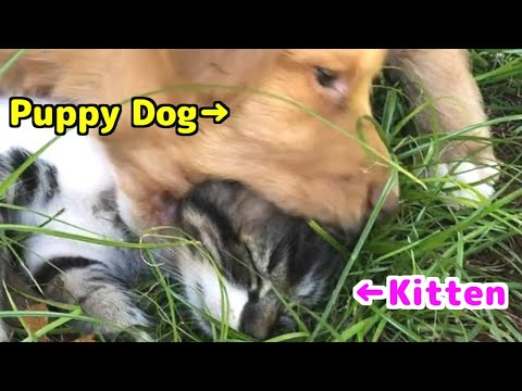【Pinch!?】 The previous life of the adopted kitten was a crazy!?【New Family】Yamato's VLOG#22