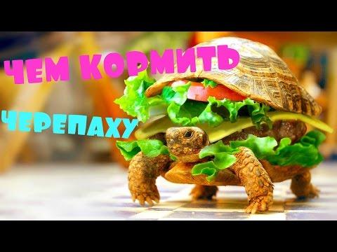 Как часто кормить черепаху сухопутную