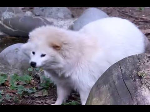 Rare all-white tanuki(Raccoon Dog) - YouTube