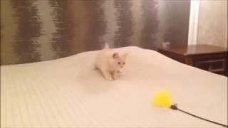 Кремовый британский котенок (персиковый окрас). Документы питомника.