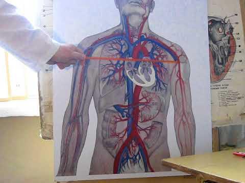 Артериальная система (ЗБМК)