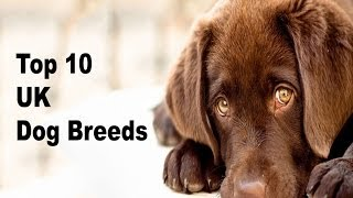 Top 10 Most Popular Dog Breeds In The Uk