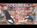Kacer Gacor Sulusi Cepat Bikin Kacer Mandek Males Bunyi Lansung Nyaut Dan Gacor  Mp3 - Mp4 Download