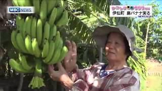 伊仙町 島バナナ実る