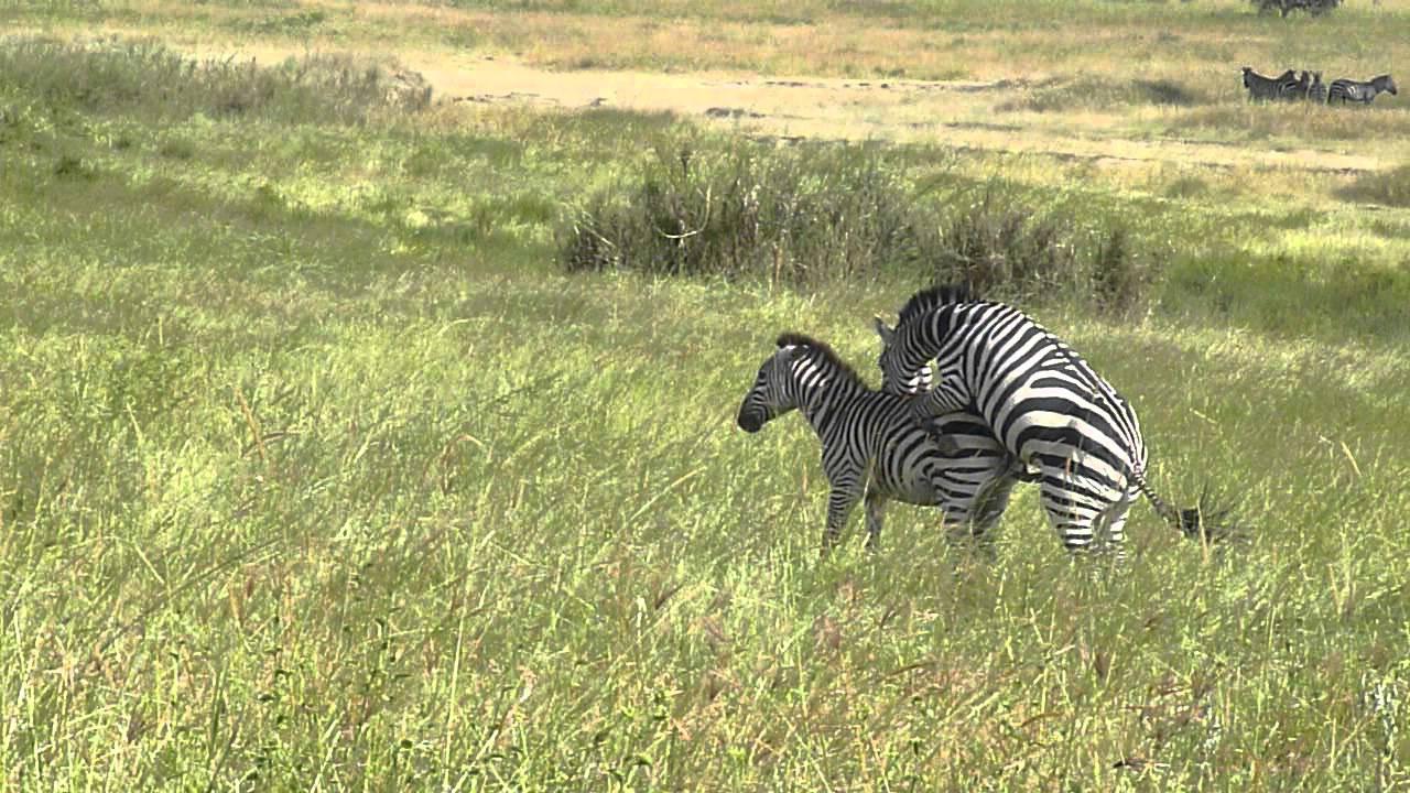 Zebras mating - photo#14