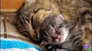 Когда пропала мама, к КОТЁНКУ пришел отец, и малыш уснул у его груди, накрытый ласковой лапой