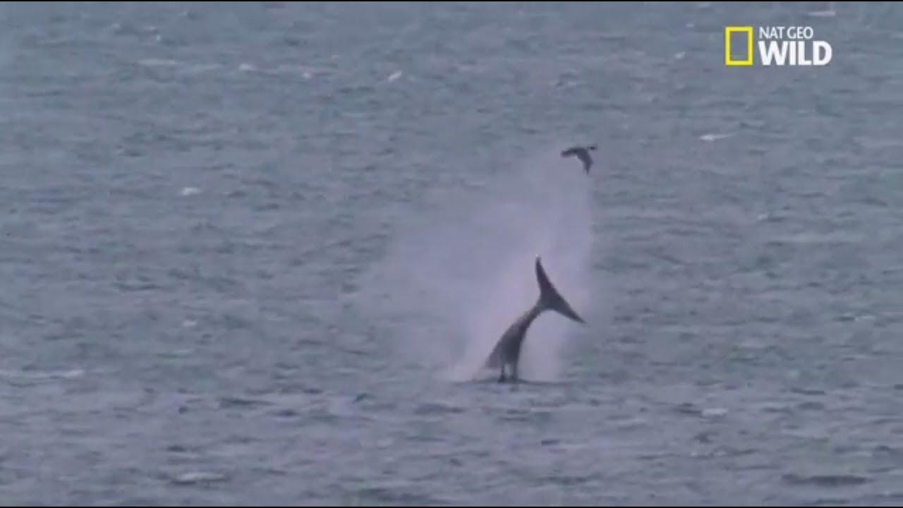 Vidéo Rare !! Des orques jouent avec un phoque avant de le tuer