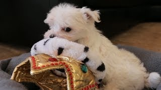 King Maltese Puppy Rules The World