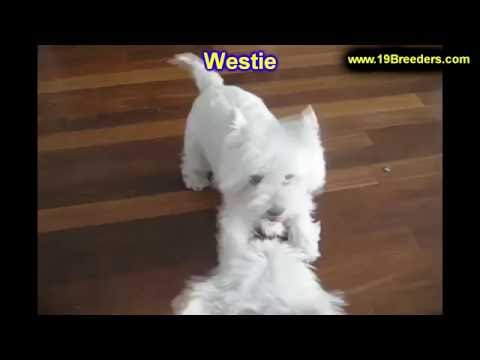 West Highland White Terrier, Westie, Puppies, Dogs, For Sale, In Miami, Florida, FL, 19Breeders