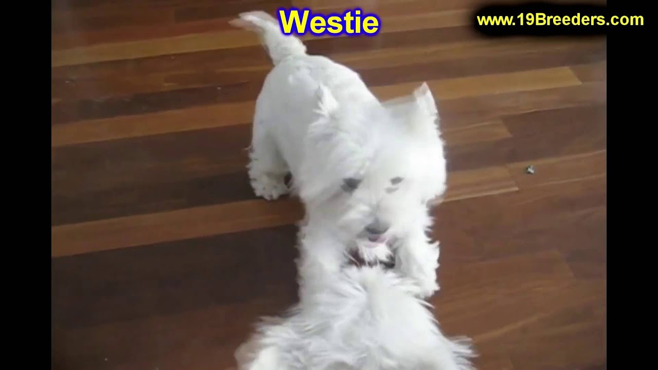 west highland terrier for sale craigslist west highland white terrier westie puppies dogs for 7479