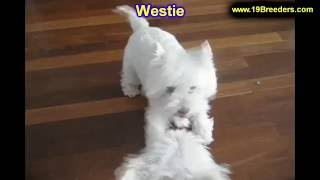 West Highland Terrier, Puppies, For, Sale, In, Clifton, New Jersey, Nj, Morris, Passaic, Camden, Uni