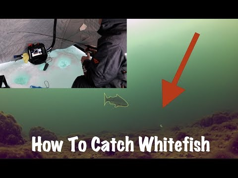 How To Catch Whitefish On Lake Simcoe - Ice Fishing