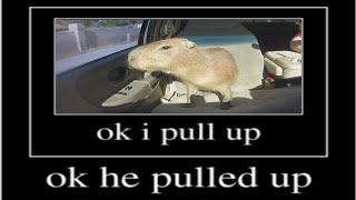 ok i pull up capybara