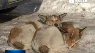 В Змиева  восемь человек, контактировавших с больной бешенством собакой  проходят  курс  лечения
