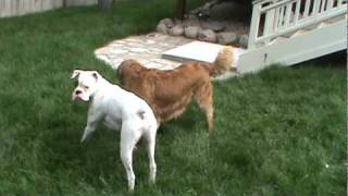 Golden Retriever Puts White Boxer In Check