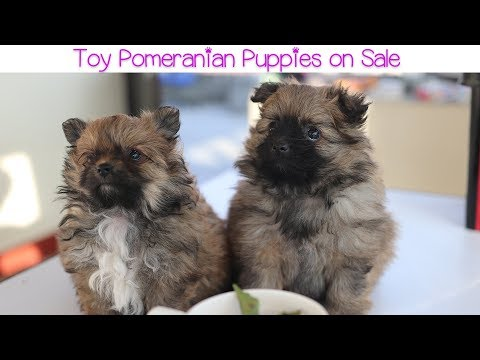 Toy Pomeranian puppies On Sale Nepal Kathmandu  || Rs. 45000/- each || Contact: 9880333518