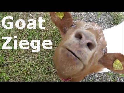 Guten Morgen Ziegen Good Morning Goats Cheerful Goats