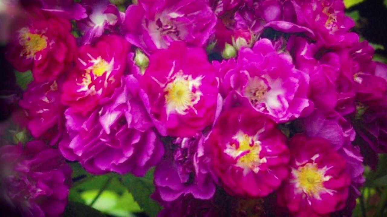 Куплю шиповник (с закрытой корневой с комом земли) белый, калину. И мне, пож-та, предложите шиповник, кот цветёт махровыми цветами. Лилия с сильным ароматом)) цена годовалой луковицы 150 руб.