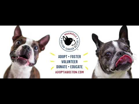 Thinking About Getting A Boston Terrier From A Rescue: MidAmerica Boston Terrier Rescue Interview