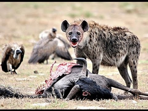 Nature Documentary BBC  Hyena Society at Zambia's Liuwa Plain