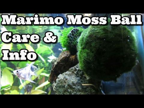 Marimo Moss Ball Care & Information