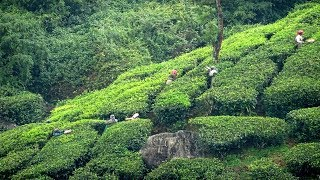 Tea Plantation, Munnar, Hill station, Kerala, India