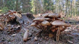 Pilze suchen Der Tag des Hallimasch