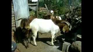 boucs boer goat reunion island.