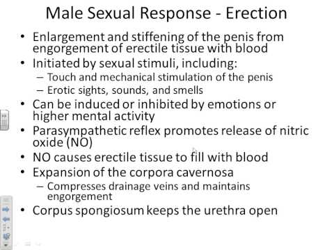 A&P II male reproductive system-Chapter 27