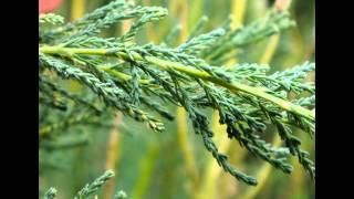 Правила выращивания мирикарии лисохвостной