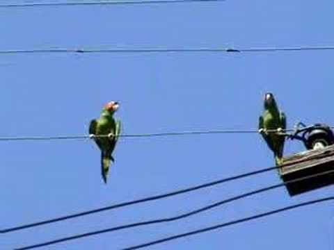 The wild green parrots of Los Angeles