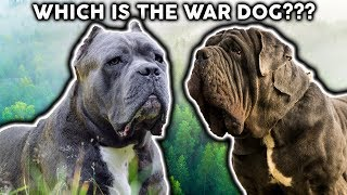 CANE CORSO OR NEAPOLITAN MASTIFF! Whats The Difference?