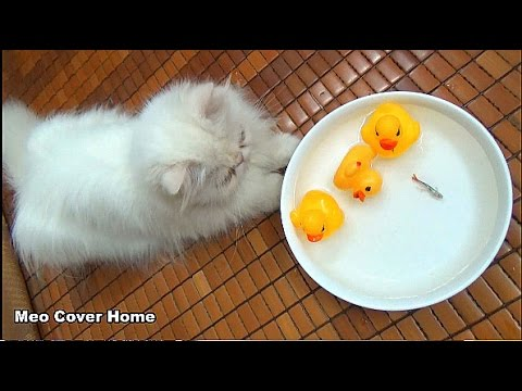 Cat See Ducks Toy Swimming In The Bowl | Ducks Toy And Cat 2016 | Meo Cover Home